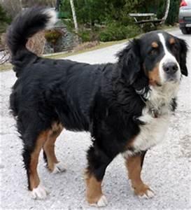 Berner Sennenhund Gewicht : berner sennenhund hunderasse hunde ratgeber ~ Markanthonyermac.com Haus und Dekorationen