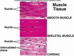 Cardiac Muscle Striated - Anatomy
