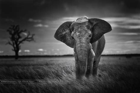White Elephant Wallpapers Wallpaper Cave