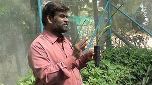 dates crop tissue culture seedling - YouTube