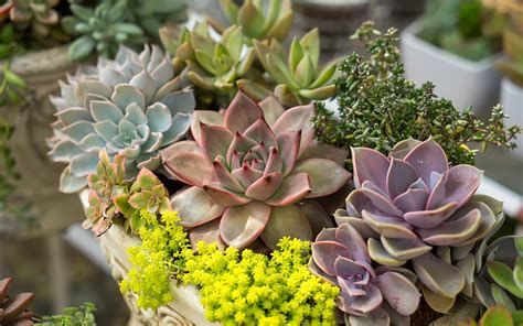 Cacti & Succulent Care Tips   Top 10 Succulents for Your Home