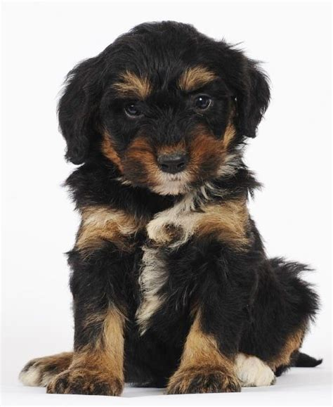 1000 images about bernedoodles on pinterest ontario