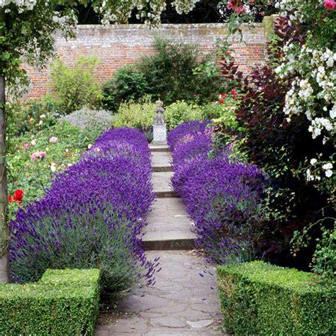 Lavender Plant Hidcote  Flower Plants Flower