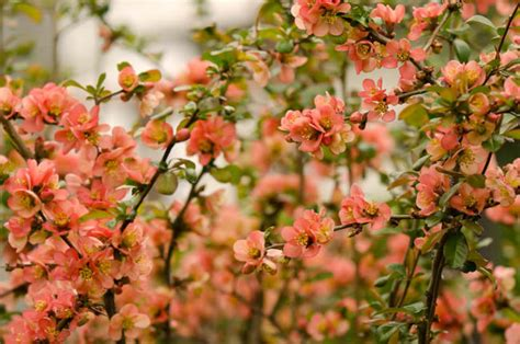 Chaenomeles Japonica (japanese Quince