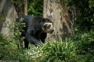 Interesting facts about spectacled bears   Just Fun Facts