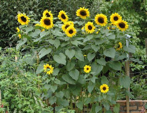 sun flower garden sunflower print about woodcuts limited edition woodcut prints woodcuts limited edition