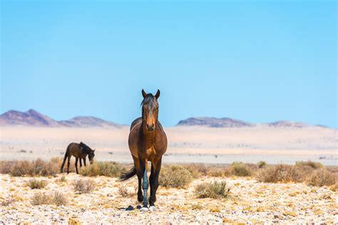 wild horses desert horse namibia aus africa luderitz seeing break lovely way these
