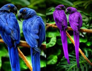 Purple Hyacinth Macaw Birds