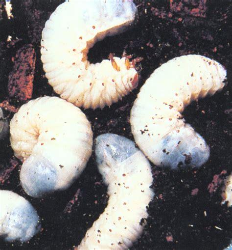white grub in soil larvae grubs images