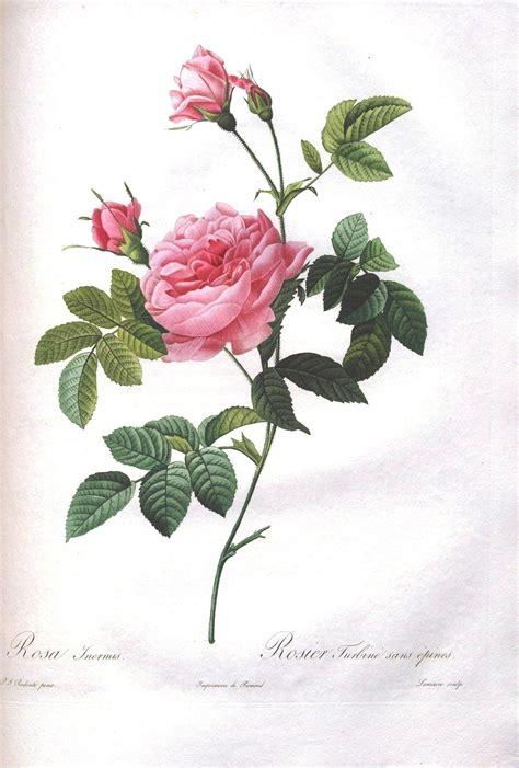 botany flowers botanical flower les roses 38 jpg 1 457 215 2 155 pixels art illustration pinterest