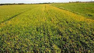 Agronomist: Growers have options for freeze-damaged wheat