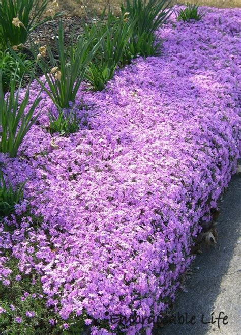 creeping phlox creeping phlox attracts ruby throated hummingbirds plant in rock borders great for sunny