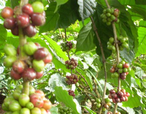 Wild coffee, one of the lesser known native florida plants, is a lovely, graceful shrub that produces berries similar to coffee beans. Coffee Tree Pictures, Facts on Coffee Trees