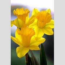 Best 25+ Daffodils Ideas On Pinterest  Daffodil, Daffodil Flower And Jonquil Flower Photos