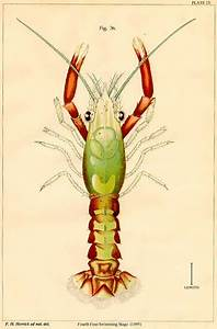 28 best Natural History - Lobster and such images on ...