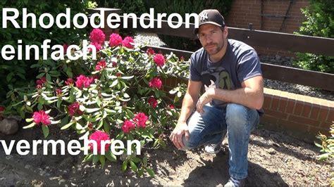 rhododendron durch stecklinge vermehren rhododendron durch ableger vermehren steckling absenker samen