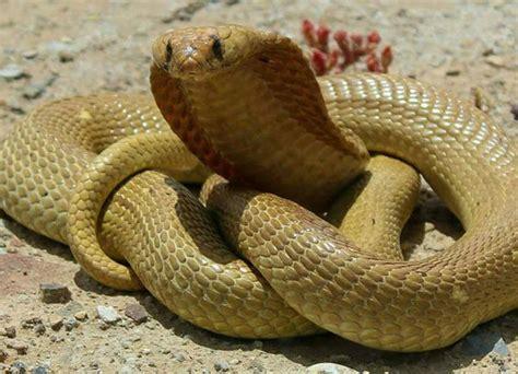 Cape's Most Venomous Snakes  Capetown Etc