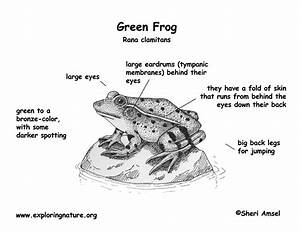 33 Labelled Frog Diagram