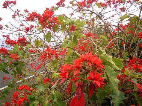 poinsettias wild origins  defense  plants
