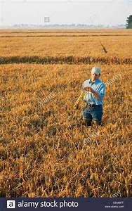 A Farmer  Grower  In His Field Inspects His Nearly Mature Rice Plant Stock Photo  43474028