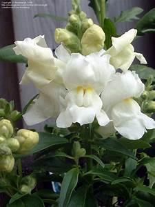 PlantFiles Pictures: Snapdragon 'Montego White ...