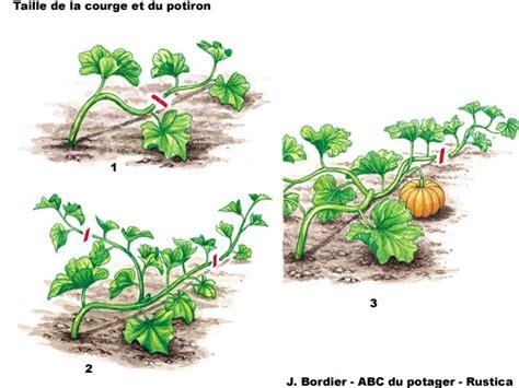 la taille des cucurbitac 233 es au potager fruit