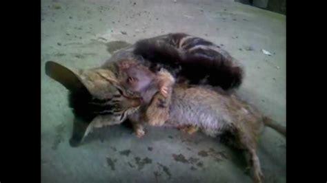 Sedere Gigante Gatto Contro Ratto Attacco Incredibile