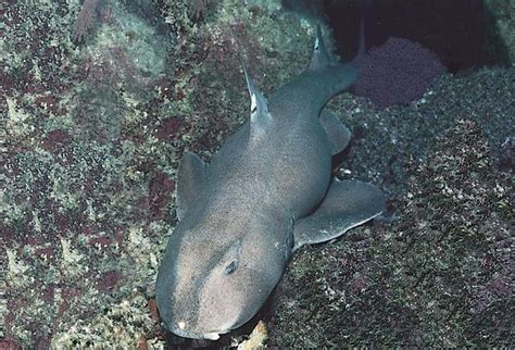requin dormeur requins eu requin dormeur mexicain ou buffle