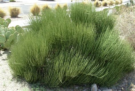 17 Best ideas about Mormon Tea on Pinterest   Drought tolerant landscape, Succulent landscaping