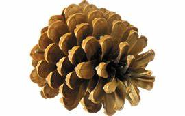 Pine cone PNG Image Pictures - PicPng