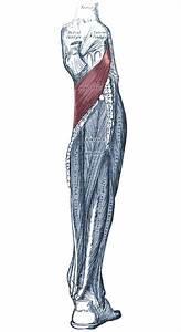 Muscle Anatomy Of The Popliteus