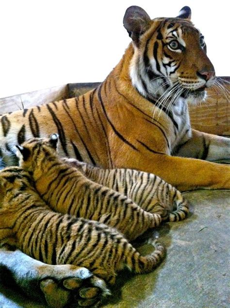 tiger cub busch gardens endangered tampa born zooborns