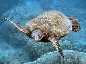 Green Sea Turtle Adaptations