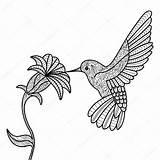 Hummingbird Coloring Adults Vector Bird Flower Drawing Adult Illustration Goku Kleurplaat Hummingbirds Christ Christmas Getdrawings Tribal Colorir Beija Flor Imagens sketch template