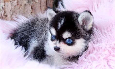 pomsky puppies  sale teacup pomskies foufou puppies