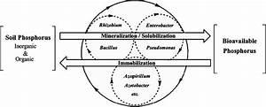 Schematic Diagram Of Soil Phosphorus Mobilization And