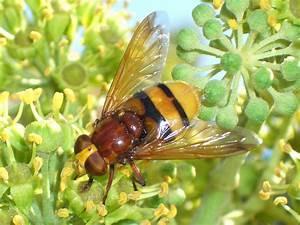 Schwarze Wespe Deutschland : fliege als getarnte wespe das ist eine hornissenschwebfliege foto bild tiere wildlife ~ Whattoseeinmadrid.com Haus und Dekorationen