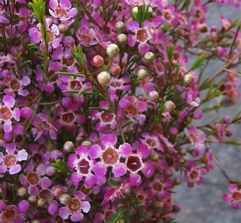 wax flower flowers colors pinterest beautiful