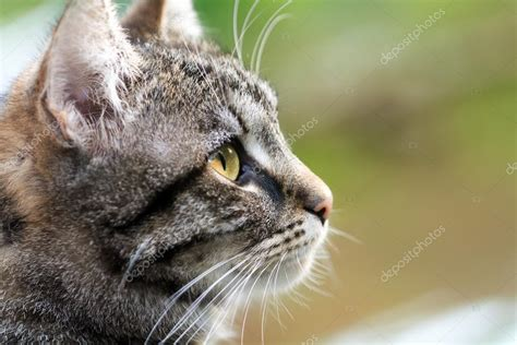 Tabby Cat Head Profile, Close Up With Copy Space