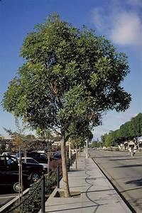 Brisbane Box Tree Selection Landscape Plants Edward F Gilman UFIFAS