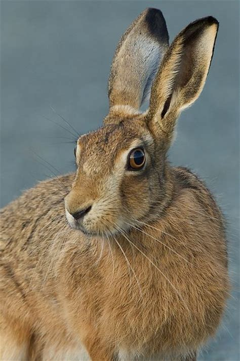 curious hare mammals prints yorkshire coast nature