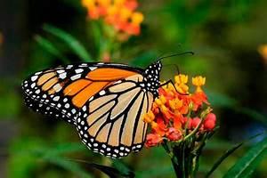 Las Mariposas Monarca en Michoacán y Estado de México