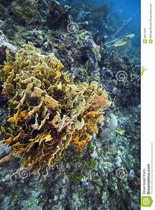 Plate Fire Coral - Roatan stock image. Image of color ...