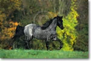 Blue Roan Rocky Mountain Horse