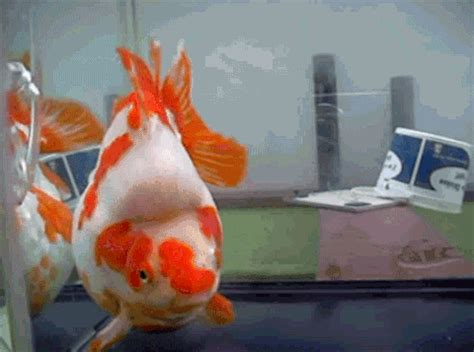 goldfish gif find share  giphy