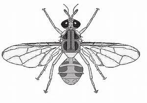Olive Fruit Fly Adult