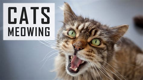 10 Cats Meowing  Make Your Cat Or Dog Go Crazy! Hd Sound