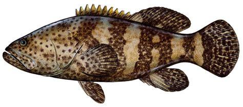 grouper goliath fish fishing species jarak epinephelus dark morio groupers records game pulau sharkbait largest saltwater spots igfa description head