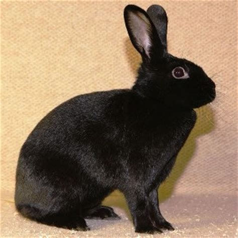 alaska rabbit rabbit breed description
