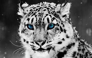Beautiful white leopard with blue eyes